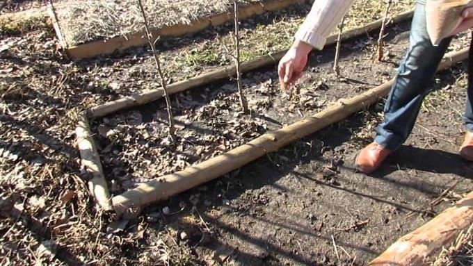 посев семян клевера