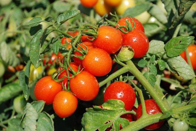 подкормка помидоров Азофоской