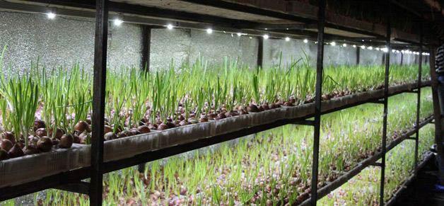 Гидропоника и семена лука конопля при зачатии
