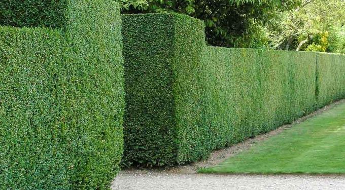 живой забор из деревьев или кустарников