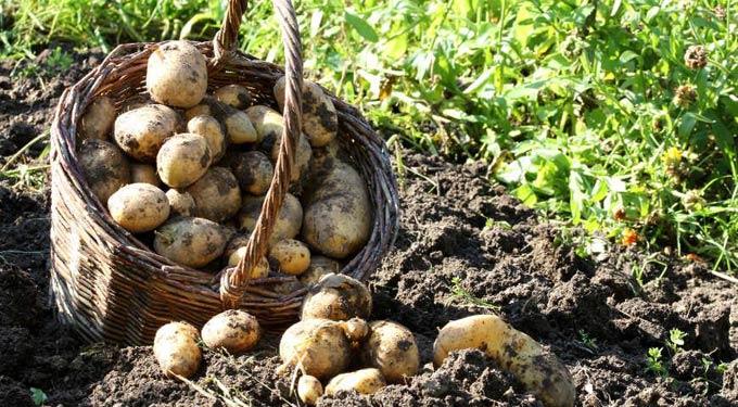 монофосфат калия для картофеля