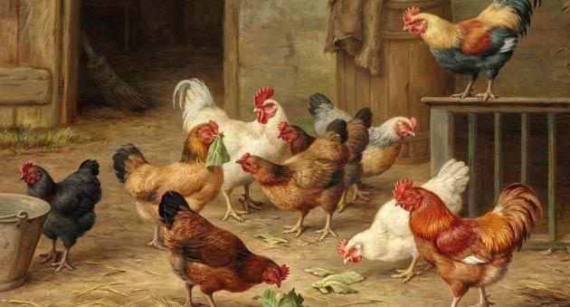 как использовать куриный помет
