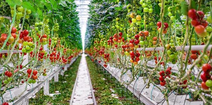 помидоры на гидропонике