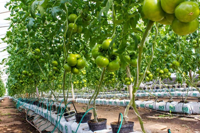система гидропоники для помидор
