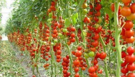 3 метода выращивания томатов на гидропонике