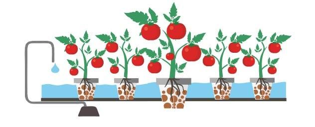 выращивание томатов на гидропонике