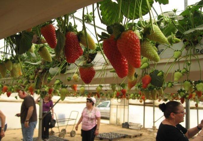 выращивание клубники методом гидропоники
