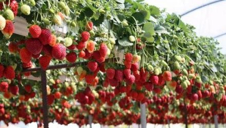 Выращивание клубники на гидропонике, выбор сортов ягод