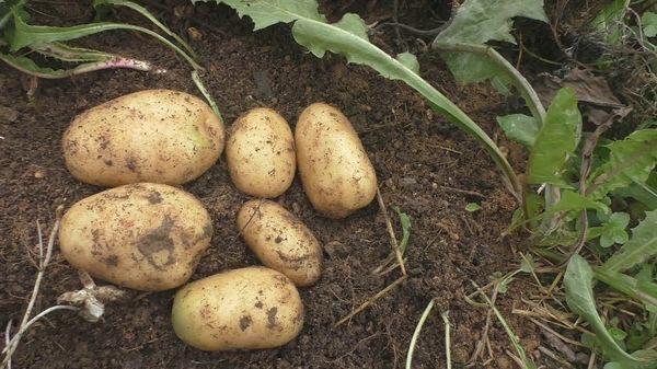 посадка картофеля после сидератов