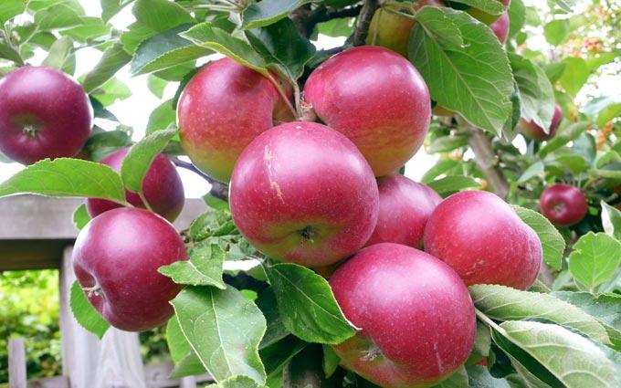 советы по удобрению яблонь