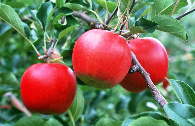 весенняя и осенняя подкормка яблонь
