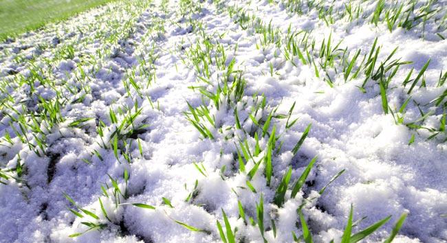 сидераты под зиму