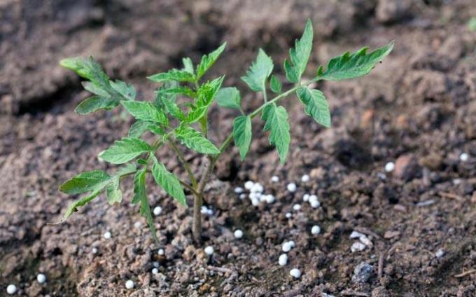 подкормка суперфосфатом томатов