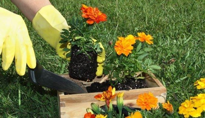 польза бархатцев для огорода