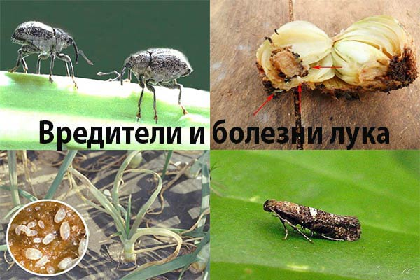 болезни и вредители лука