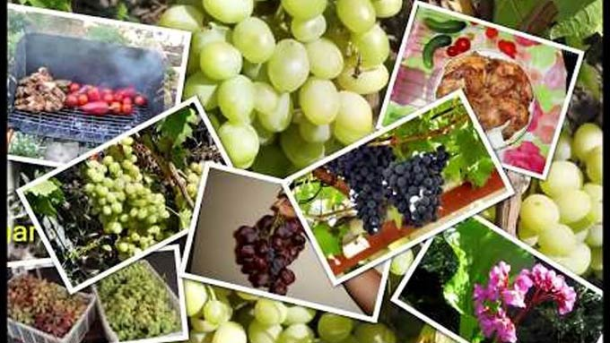 польза гиббереллинов для винограда