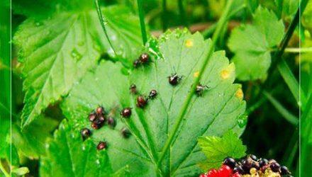 Как бороться с вредителями смородины