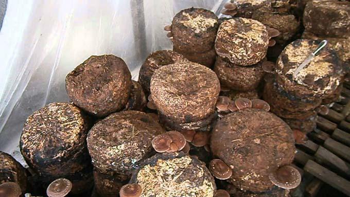 выращивание шиитаке в домашних условиях