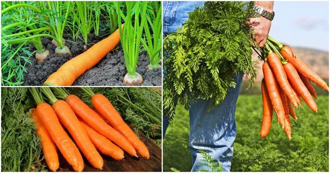 чем подкармливать морковь