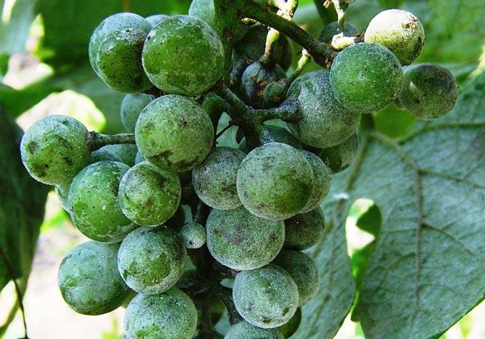 грибок на винограде