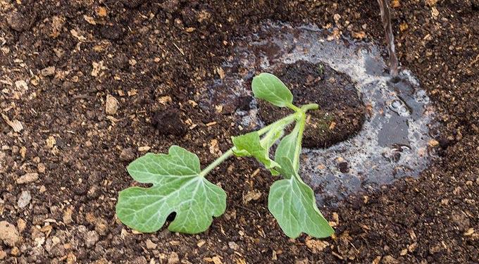 удобрение арбузов