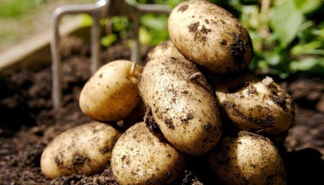 борьба с вредителями картофеля