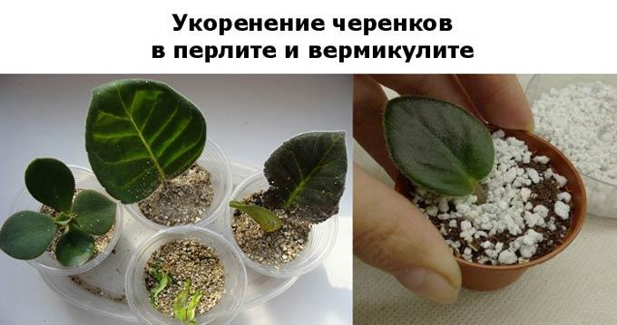 укоренение черенков в перлите