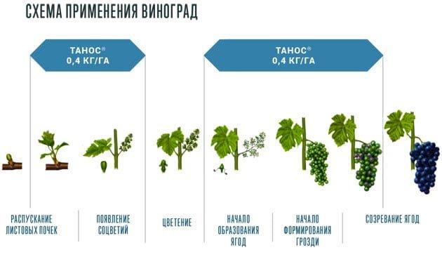 схема применения Таноса на винограде