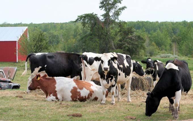 коровий навоз как удобрение