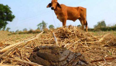 Популярность коровьего навоза как удобрения