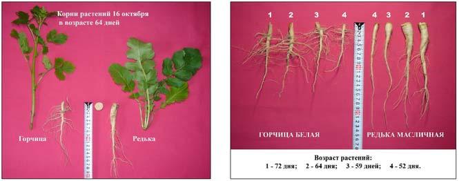 сравнение корней горчицы и масличной редьки