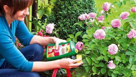10 самых лучших удобрений для роз
