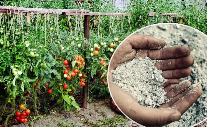 зола для томатов