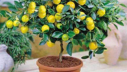 Как правильно обрезать лимон в домашних условиях