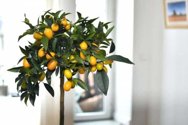 как обрезать лимонное дерево