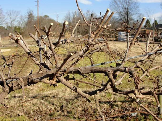 когда обрезать виноград