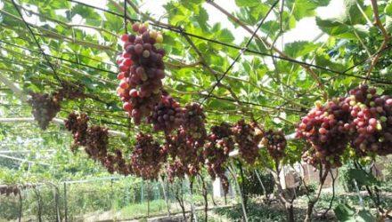 Правильная обрезка винограда для новичков