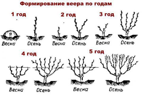 формирование кроны винограда