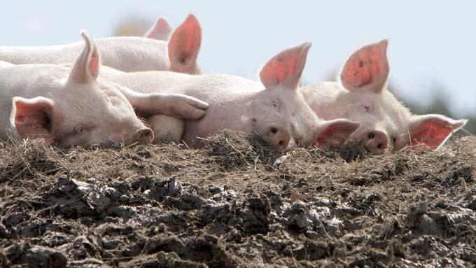 подстилка свиней