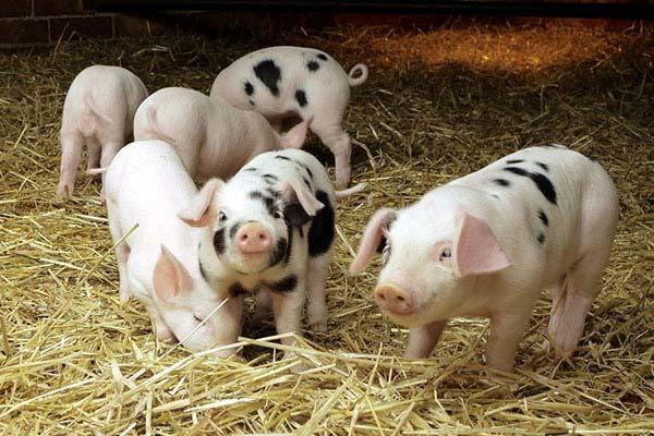 бактерии для переработки свиного навоза
