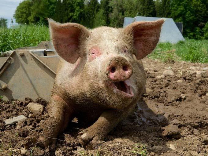 можно ли удобрять огород свиным навозом