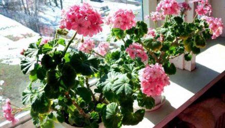 Лучшие удобрения для обильного цветения герани
