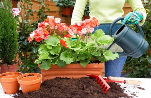 удобрение для герани в домашних условиях