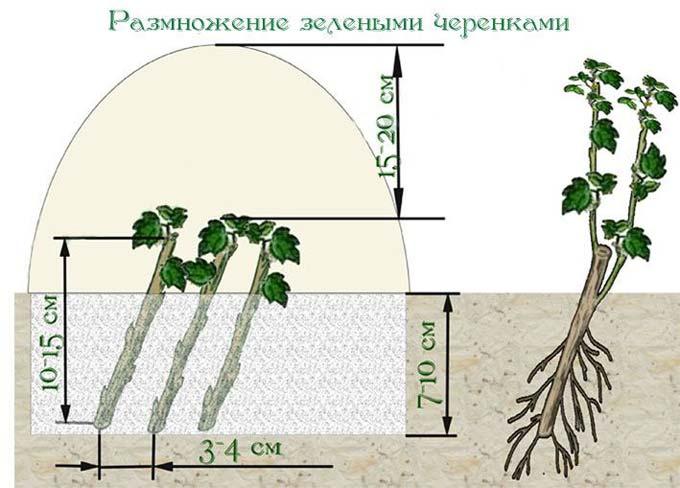 размножение йошты зелеными черенками