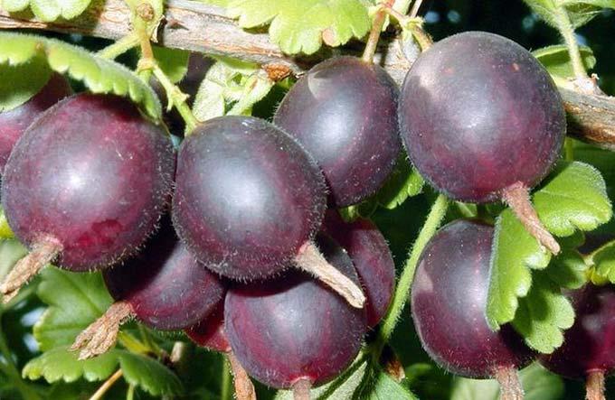 плоды йошты