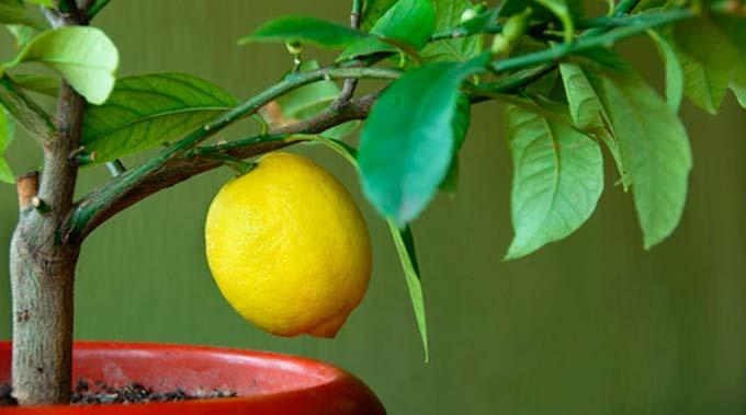 подкормка для лимона