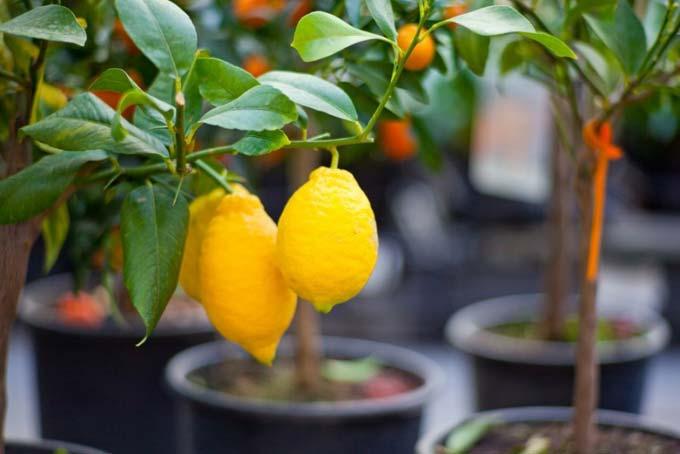 чем подкармливать лимон