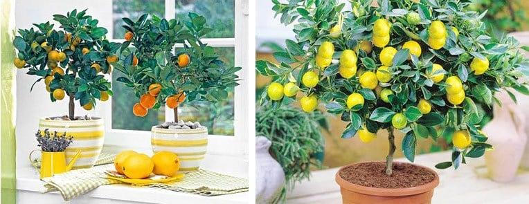 подкормка лимона в домашних условиях