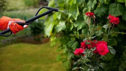 Когда и чем подкармливать садовые розы