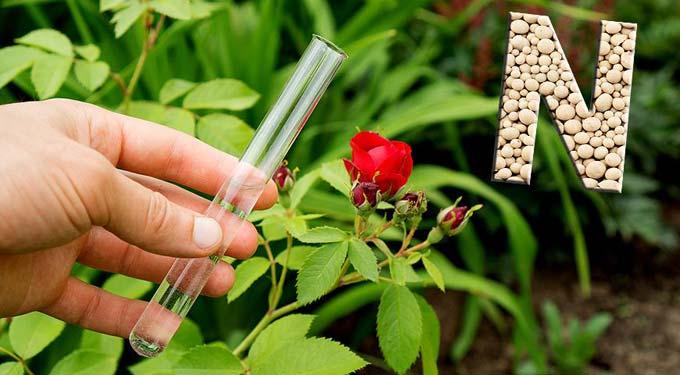 подкормка роз азотом